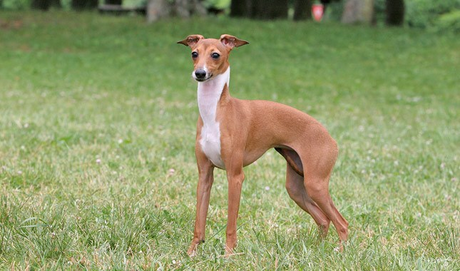 Italian-Greyhound-Dog2