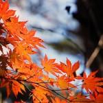 紅葉狩りの由来、紅葉の仕組み、オススメ紅葉スポットをご紹介します。